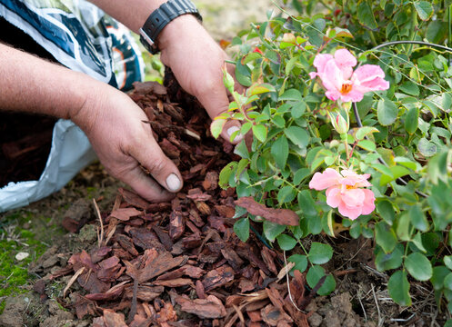 Gardener uses the pine bark to mulch a rose bush, in anticipation of the winter. Mulching is a cultivation technique.