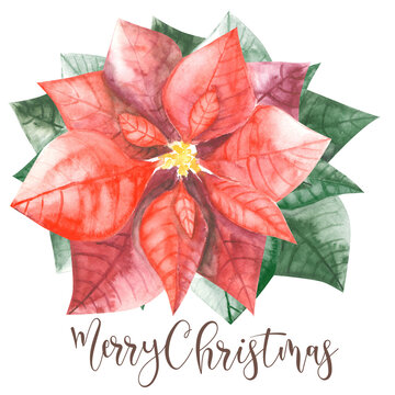 pointsettia with green leaves and christmas wishes