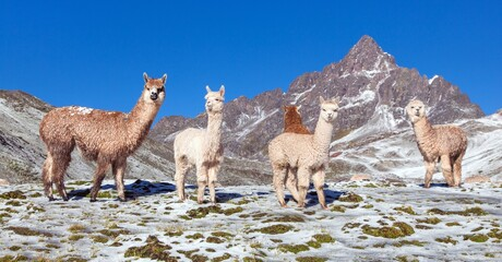 llama or lama, group of lamas on pastureland