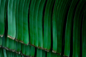 Wall Mural - abstract banana leaf natural background, tropical leaf, tiny green leaf