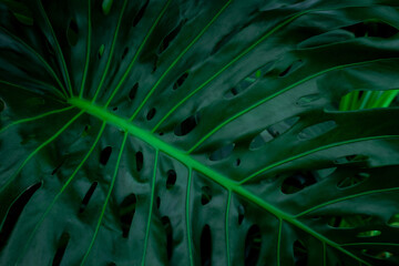 Wall Mural - closeup monstera leaf background, dark tone concept