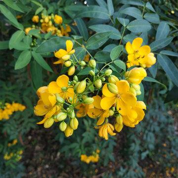 Senna tora (Cassia tora, Sickle Senna or Sickle Wild) is a leguminous plant. Traditional medicine. Square image