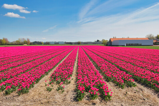 Purple flowers and farm in Holland