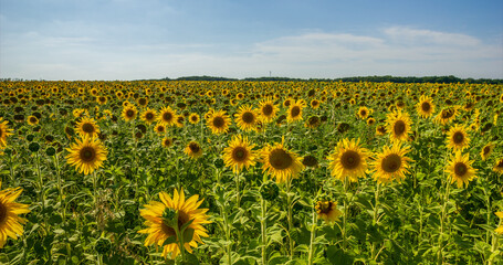 Sunflower Field. Agriculture. Rural Landscape, agricultural land. Farm. Blue Sky and white clouds above yellow Field Sunflower on sunny day. Yellow sunflowers against a blue sky in sun.
