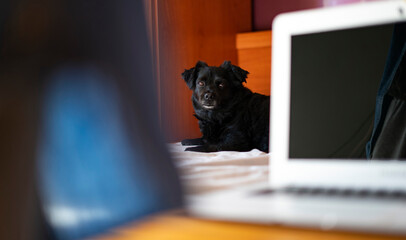 Black dog on the bed and looking at the camera. Work at home with pet.