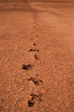 cattle hoof prints in the desert on the way to watering place