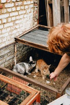boy feeding his two rabbits fresh green grass