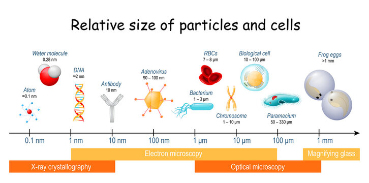 comparison size of particles and cells on biological scale.