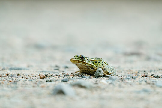 Macro image of a northern leopard frog on some small stones