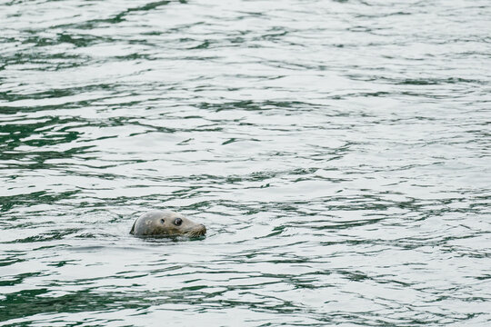Side view of a harbor seal swimming at Ballard Locks in Seattle