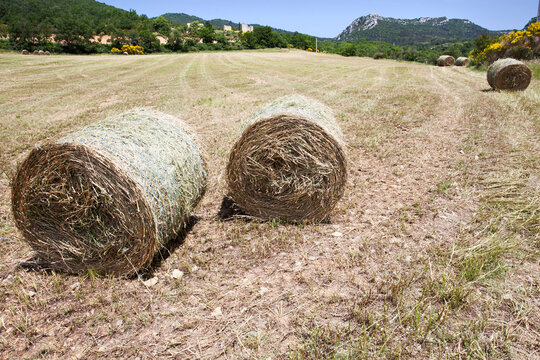 harvested wheat