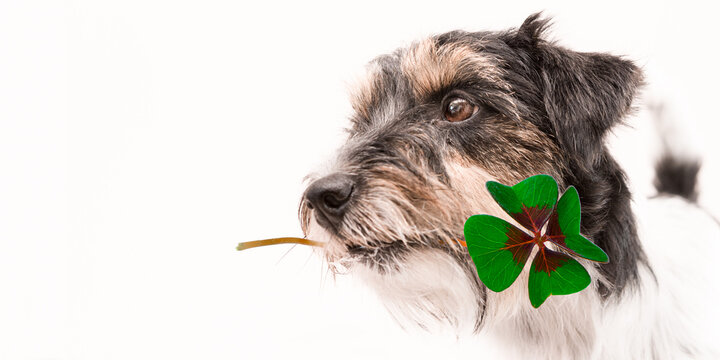 Jack Russell Terrier dog is holding a four-leaf clover lucky charm
