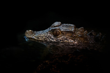 Closeup shot of the head of a crocodile peeps out of the water