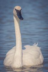 Vertical closeup shot of trumpeter swan swimming on a lake