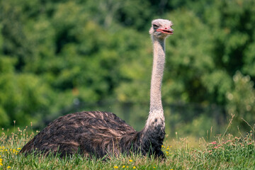 Selective focus shot of an ostrich walking on grassland