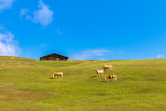 Haflinger Pferde auf der Seiser Alm, Alpe di Siusi, Südtirol