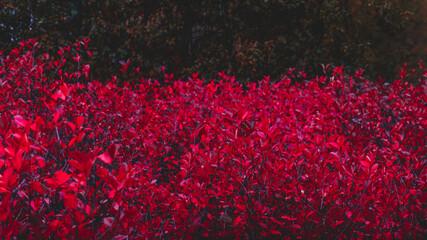 Fototapeta premium Intensywnie czerwone rośliny w ogrodzie