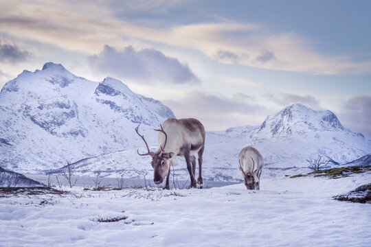 Two reindeers with antlers eating grass in winter scenery.