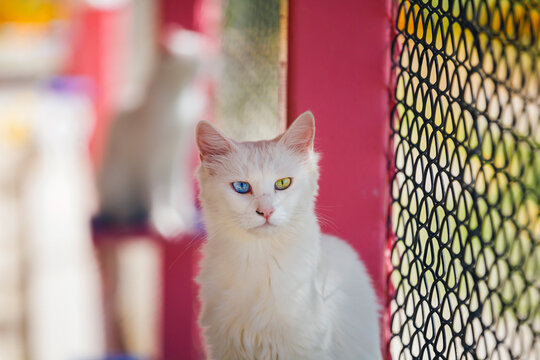 Turkey, a cat with blue and yellow eyes, in the cattery of cats in the city of Van.