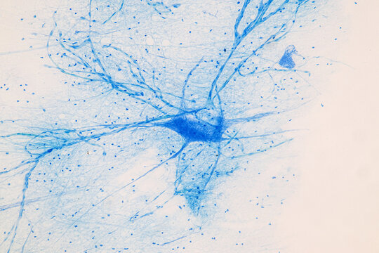 Education Spinal cord  and Motor Neuron under the microscope in Lab.