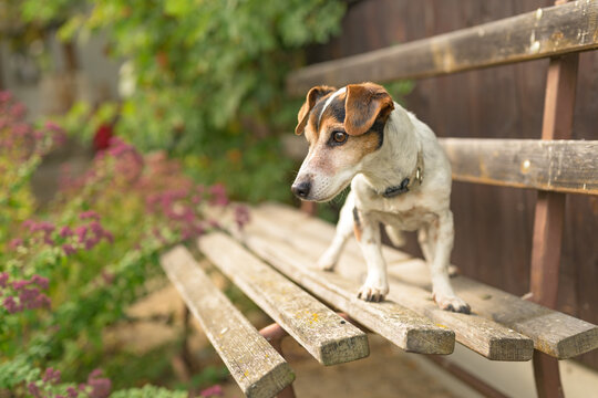 Cute small 13 years old Jack Russell Terries  dog is standing on a park bench