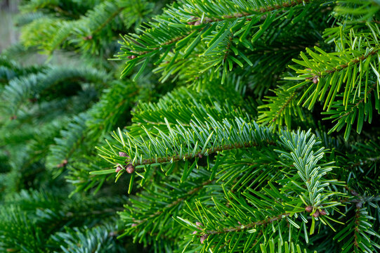 Plantation of evergreen nordmann firs, christmas tree growing ourdoor