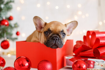 christmas dog with gift box, french bulldog puppy with christmas decorations