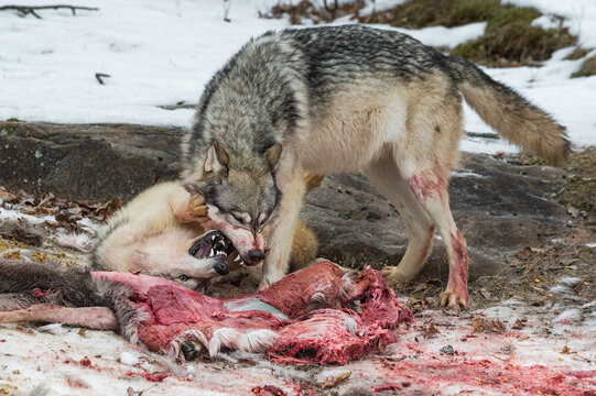 Grey Wolf (Canis lupus) Urinates Submissively Under Other at Deer Carcass Winter