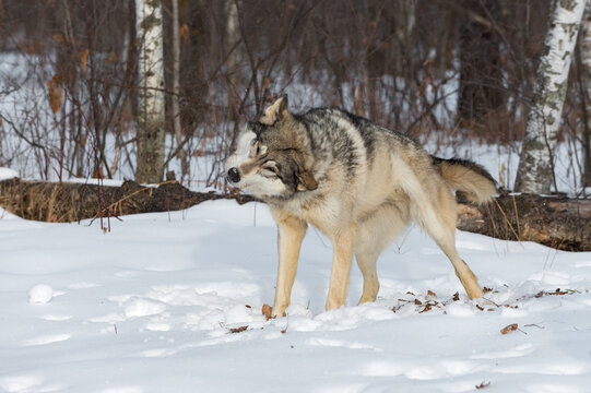 Grey Wolf (Canis lupus) Shakes Off Snow at Edge of Woods Winter