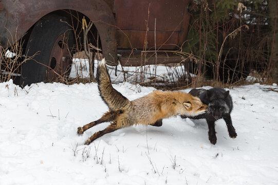 Red Fox (Vulpes vulpes) Jumps at Silver Fox Winter