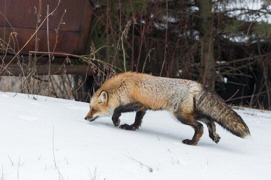 Red Fox (Vulpes vulpes) Walks Left Past Old Truck in Woods Winter