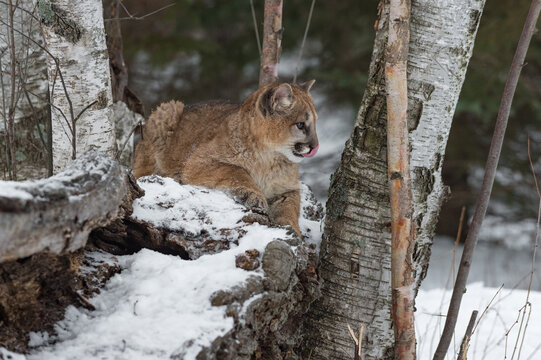 Female Cougar (Puma concolor) LIes Atop Log Looking Right Licking Nose Winter