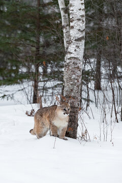 Female Cougar (Puma concolor) Stands in Front of Birch Tree Ears Back Winter