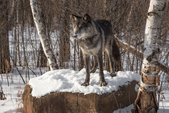 Black Phase Grey Wolf (Canis lupus) Stands on Snowy Rock Looking Left Winter