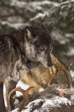 Grey Wolf (Canis lupus) Looks Up and Back from Over Deer Carcass Winter