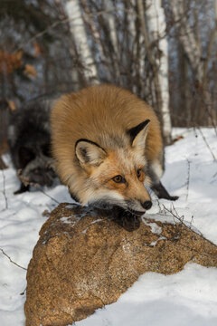 Red Fox (Vulpes vulpes) on Rock With Silver in Background Winter