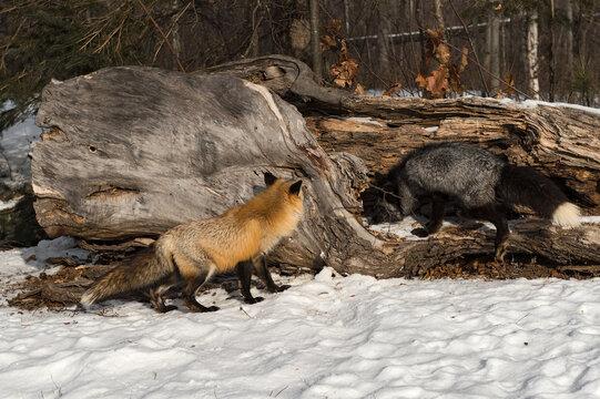 Red Fox (Vulpes vulpes) and Silver Examine Log Winter
