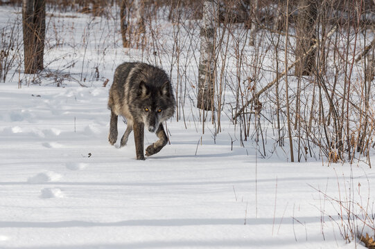 Black Phase Grey Wolf (Canis lupus) Stalks Forward Out of Woods Winter