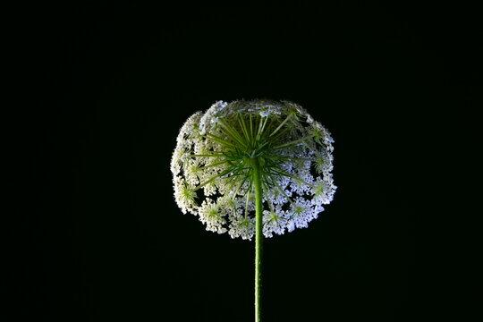 Isolated wild carrot flower, known as bird's nest, scientific name Daucus carota