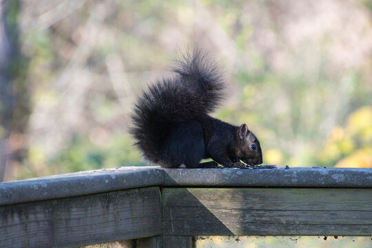 A picture of a grey squirrel on a fence.   Burnaby BC Canada