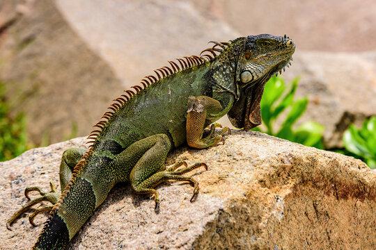 Green lizards iguana. Wildlife reptile in Florida. Iguana dragon close up.