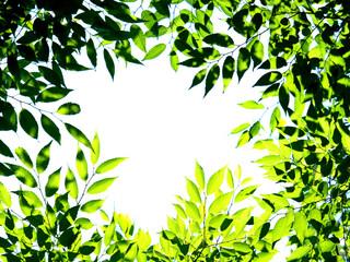 Fototapete - 新緑のケヤキ