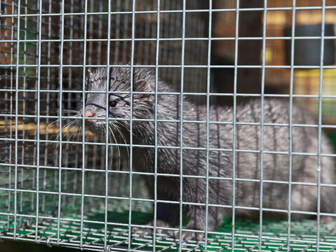 European blue mink in a cage with wet fur after a shower in summer. Breeding animals in captivity. Fur farm, zoo (Lat. Mustela lutreola)
