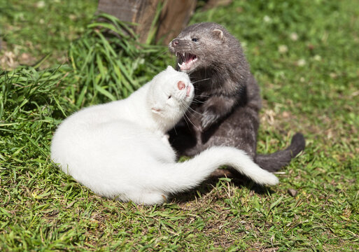 Two cute minks are playing on the grass on a sunny summer day. Breeding fur-bearing animals. Animal farm, zoo (Lat. Mustela lutreola)