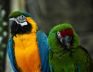 Two handsome green and blue parrots flaunt in the jungle