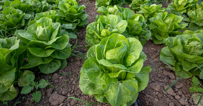 Organic lettuce growing in the soil. Fresh lettuce close-up. Salad plant. Organic food production. Agriculture