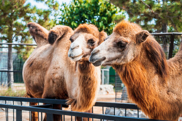 The family of the camels in the zoo