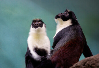 Diana monkey. This is one of the most beautiful types of monkeys. The area is the jungles of West Africa. Diana monkey is named after the Roman goddess of hunting, beauty, flora and fauna.