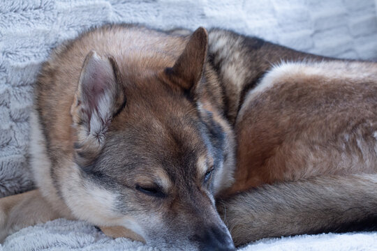 Tired Czechoslovakian wold dog is laying indoor on a fluffy blanket