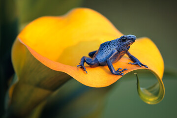 Blue poison dart frog (Dendrobates tinctorius azureus) is poisonous frog which can be found in southern Suriname. The poison can paralyze or even kill the predator. Dark spots are unique to each frog